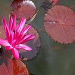 Nymphaea Rubra (Red Lotus) Sacred Waterlily Seeds by World Seed Supply