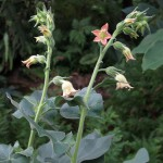 Nicotiana Glutinosa (Tobacco) Seeds by World Seed Supply