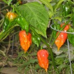 Capsicum Chinense (Dorset Naga / Ghost Chili Pepper) Seeds by World Seed Supply