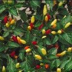 Capsicum Frutescens (Tabasco Pepper) Seeds by World Seed Supply