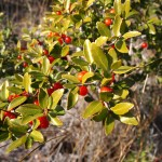 Ilex Vomitoria (Yaupon Holly / Black Drink) seeds by World Seed Supply