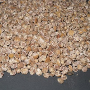 Argyreia Nervosa  (Hawaiian Baby Woodrose) Seeds by World Seed Supply