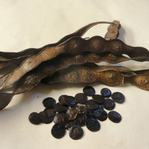Anadenanthera Peregrina (Yopo) seeds  by World Seed Supply