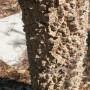peregrina bark