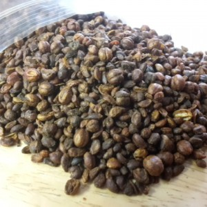 Celastrus Paniculatus (Intellect Tree) Seeds by World Seed Supply
