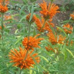 Leonotis Leonurus (Wild Dagga / Lion's Tail) Seeds by World Seed Supply