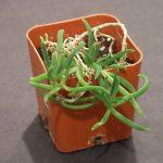 Delosperma Bosseranum (Ice Plant) Mesembryanthemum Seeds by World Seed Supply