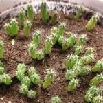 "Trichocereus SS02 (Bridgesii) x Peruvianus ""Serra Blue"" Hybrid Seeds by World Seed Supply"
