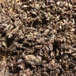 Pedicularis Densiflora (Indian Warrior) Extract - 5X Enhanced Flower Buds by World Seed Supply