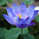 Nelumbo Nucifera, Blue (Blue Lotus) Seeds by World Seed Supply