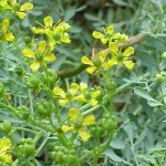 Ruta Graveolens (Common Rue) Seeds by World Seed Supply