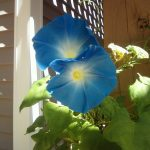 Ipomoea Tricolor (Heavenly Blue Morning Glory) Seeds by World Seed Supply