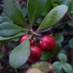 Arctostaphylos Uva-Ursi (Bearberry / Kinnikinnick) Seeds by World Seed Supply