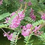 Indigofera Tinctoria (True Indigo) Seeds by World Seed Supply