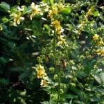 Agrimonia Eupatoria (Agrimony) Seeds by World Seed Supply