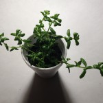 Bacopa Monnieri (Brahmi) Live Plant by World Seed Supply