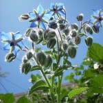 Borago Officinalis (Blue Borage / Starflower) Seeds by World Seed Supply