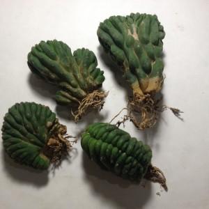 "Trichocereus Pachanoi var. Cristata (San Pedro Cactus) 3"" Crested Cactus Plant by World Seed Supply"