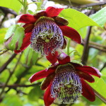 Passiflora Alata (Red Star Passion Flower) Seeds by World Seed Supply