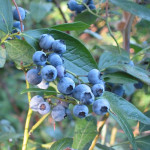 Vaccinium Corymbosum (Highbush Blueberry) Seeds by World Seed Supply