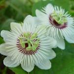 Passiflora Foetida x Edulis (Bush Passion Fruit) Hybrid Seeds by World Seed Supply