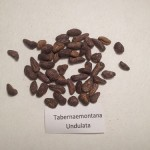 Tabernaemontana Undulata (Uchu Sananho) seeds by World Seed Supply