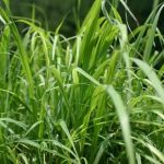 Cymbopogon Flexuosus (East Indian Lemongrass) Live Plant by World Seed Supply