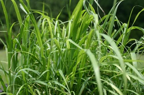 Cymbopogon Flexuosus (East Indian Lemongrass) – Live Plant- FREE SHIPPING