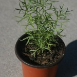 Peganum Harmala (Syrian Rue) Live Plant by World Seed Supply