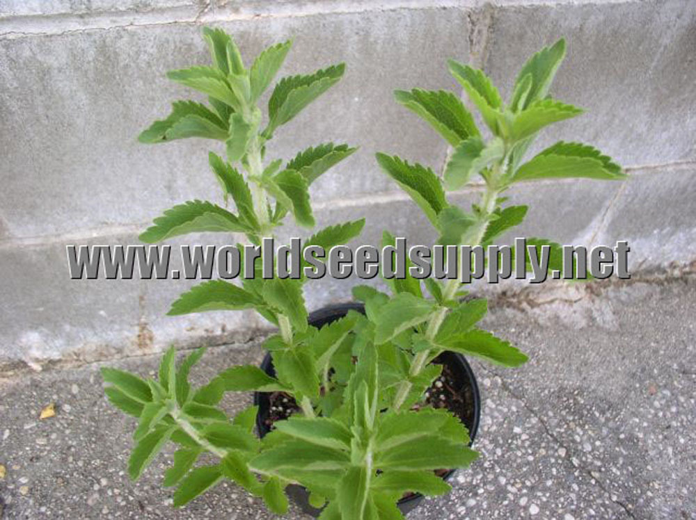 stevia rebaudiana plant world seed supply. Black Bedroom Furniture Sets. Home Design Ideas