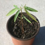 Desmodium Gyrans (Telegraph Plant) Live Plant by World Seed Supply