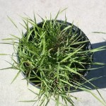 Heirochloe Odorata (Sweet Grass Plant) Live Plant by World Seed Supply