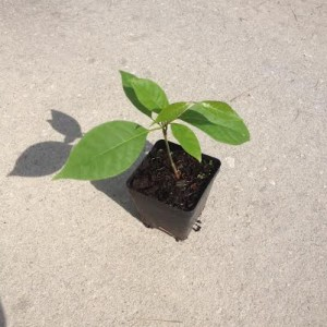 "Banisteriopsis Caapi (Yage) ""Tunkunaca Strain"" Live Plant by World Seed Supply"