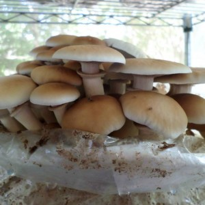 Agrocybe Aegerita (Black Poplar Mushroom) Live Culture by World Seed Supply