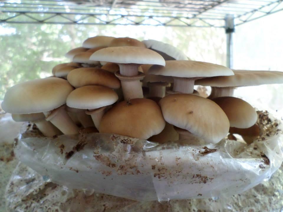 Cultivation Technology Of Poplar Mushrooms