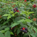 Rubus Leucodemis (Black Raspberry) Seeds by World Seed Supply