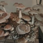 Lentinula Edodes (Shiitake Mushroom) Live Culture by World Seed Supply