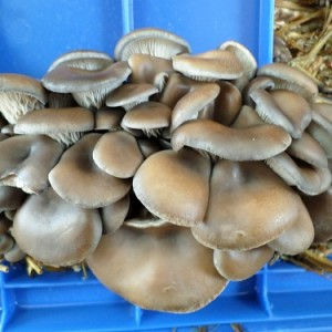 Pleurotus Ostreatus v. Columbinus (Blue Oyster Mushroom) Live Culture by World Seed Supply