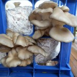 Pleurotus Ostreatus (Pearl Oyster Mushroom) Live Culture by World Seed Supply