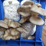 Pleurotus Ostreatus (Pearl Oyster Mushroom) Live Culture by World Seed Supply