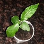 Tabernaemontana Undulata  Live Plant by World Seed Supply