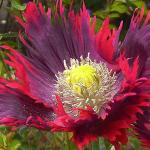 Papaver Somniferum Drama Queen Poppy Seeds by World Seed Supply