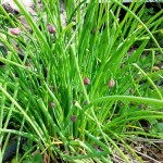 Chives Seeds by World Seed Supply