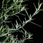 Russian Tarragon seeds by World Seed Supply