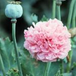 poppy-356762_960_720