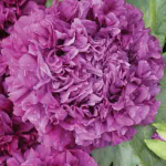 Purple Peony Poppy Seeds by World Seed Supply