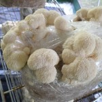 Lion's Mane Mushroom Cultures by World Seed Supply