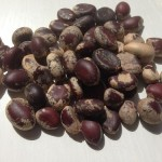 Brazilian Copal Tree seeds by World Seed Supply