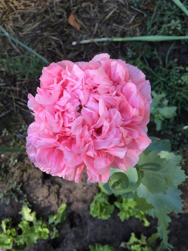 Bright Pink Poppy World Seed Supply