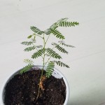 Mimosa Tenuiflora seeds by World Seed Supply